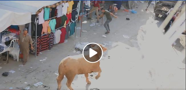 صورة مشاهد مرعبة لحظة هروب أحد العجول في خانيونس – قطاع غزة